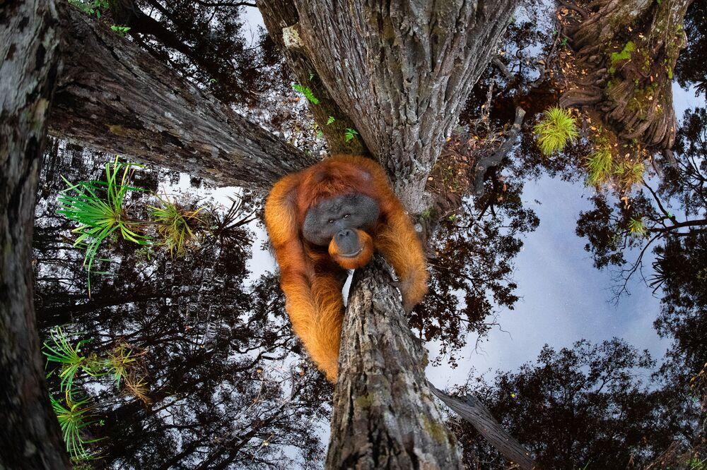 Büyük ödülü, 'The World is Going Upside Down' adlı çalışmasıyla Kanadalı fotoğrafçı Thomas Vijayan kazandı. Fotoğrafın başkahramanı, nesli tükenmekte olan Bornea orangutanı. İlk bakışta, arka planda gökyüzü var gibi görünse de yakından bakıldığında bunun ağaçlar altındaki suda bir yansıma olduğu anlaşılıyor.