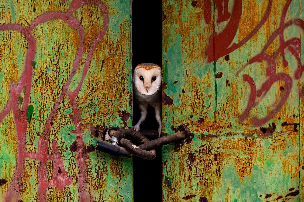 Jose Luis Ruiz Jimenez, terk edilmiş bir evin kapısından dışarıya bakan bir baykuşu yakalamayı başardı.