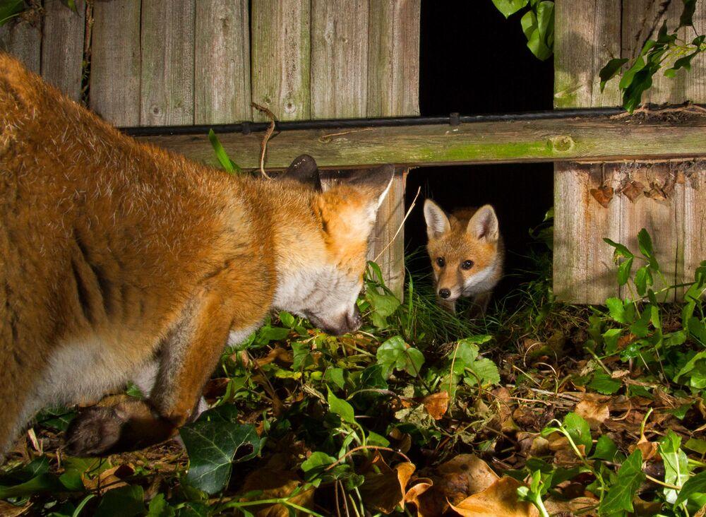 Thomas Cawdron, düzenli olarak çitteki delikten geçip bahçesini ziyaret eden bir tilki ailesini fotoğrafladı.