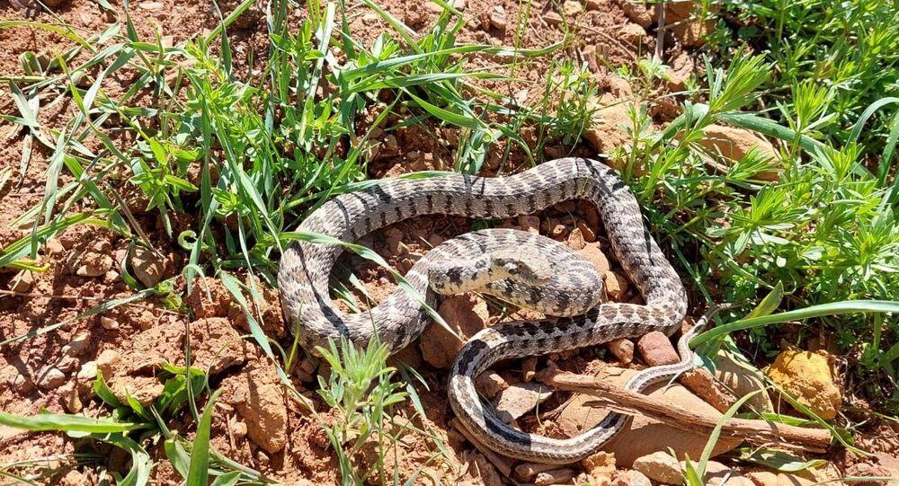 Tunceli / yılan / kocabaş yılanı