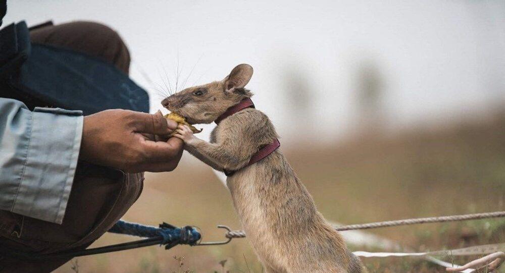 Mayın avcısı fare Magawa
