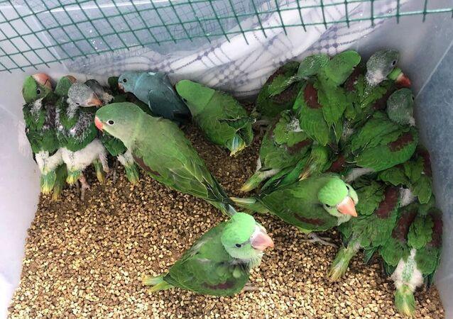 İstanbul'da canlı hayvan kaçakçılığı operasyonu: 38 İskender papağanı ele geçirildi