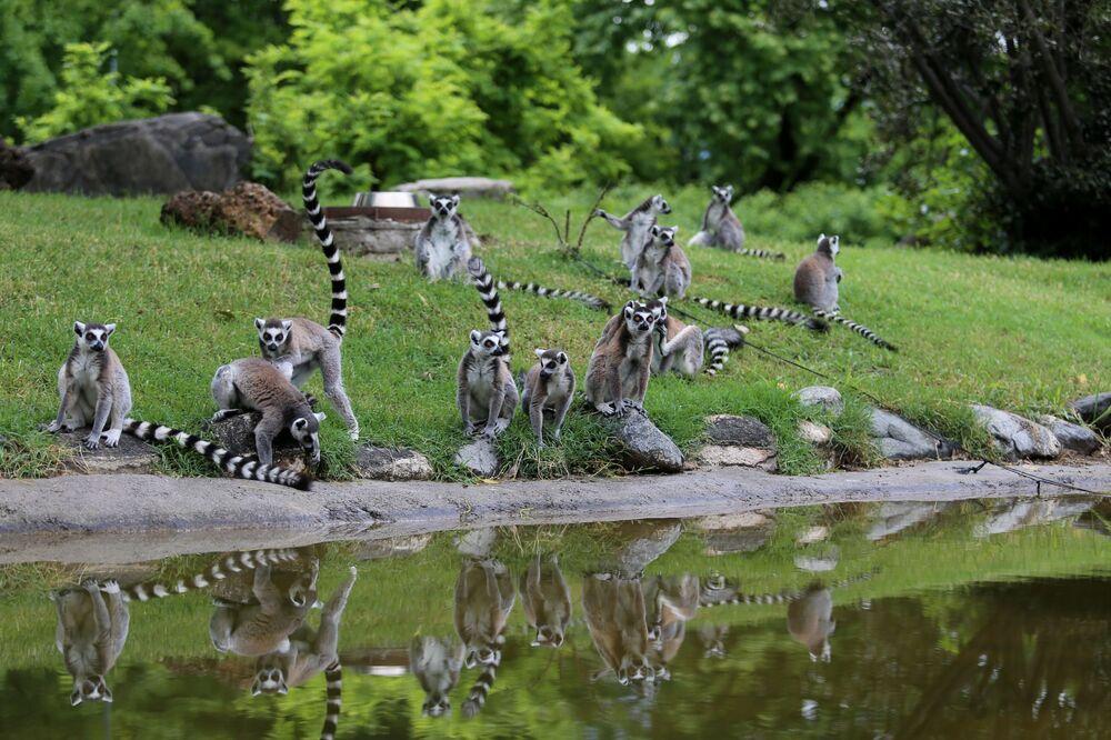 Bursa Büyükşehir Belediyesi Hayvanat Bahçesi'nde lemurların 4 yavrusu oldu.
