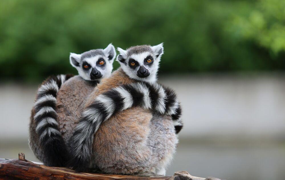 """Yavruların ortama ayak uydurmasının kısa süreceğini belirten yetkililer, Hayvanlarımız burada çok iyi şartlara sahip. Sık sık yavruları oluyor ve yakın zaman zarfında 4 yavrumuz dünyaya geldi. Onlara çok iyi bakıyoruz. Lemur ailesi kontrollü şekilde genişliyor"""" diye konuştu."""