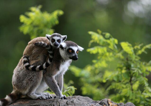 Geldiklerinde sadece 9 adet olan ve 7'si halka kuyruklu, 2'si kırmızı yakalı lemurların sayısı son doğumlarla birlikte 30'a ulaştı.
