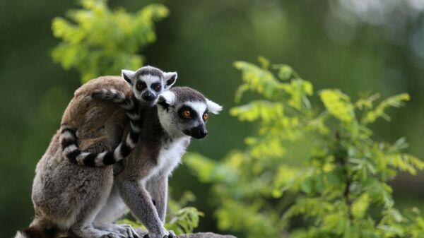 Bursa Hayvanat Bahçesi'ndeki lemurlar - Sputnik Türkiye
