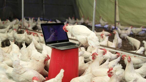 Antalya Doğan Subaşı'nın tavuk çiftliği - Sputnik Türkiye