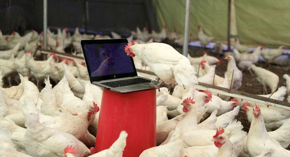 Antalya Doğan Subaşı'nın tavuk çiftliği