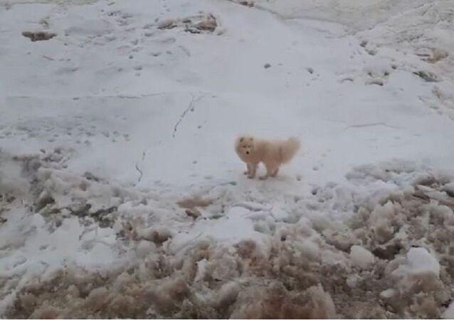 Rus buzkıran gemisinin mürettebatı, buz üstünde kalan bir köpeği kurtardı