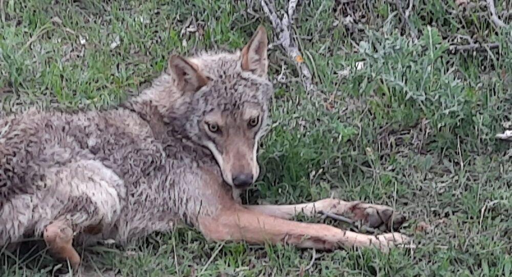 Çorum'da düştüğü su kuyusundan kurtarılan kurt sağlık kontrolünden geçirildikten sonra doğaya salındı.