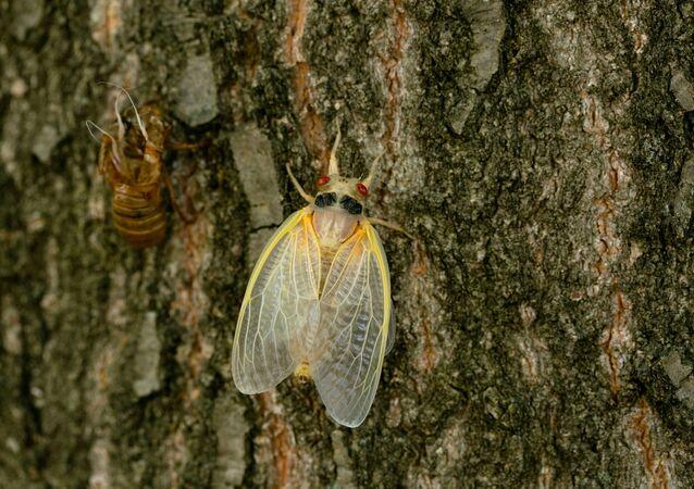 Broad X ağustos böcekleri,