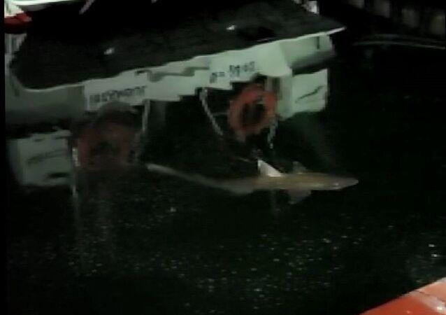 Balıkçı Mehmet Oral'ın oltasına takılan köpek balığı-Haliç