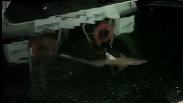 Balıkçı Mehmet Oral'ın oltasına takılan köpek balığı-Haliç - Sputnik Türkiye