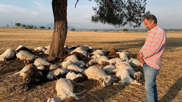 Telef olan koyun sürüsü - Sputnik Türkiye