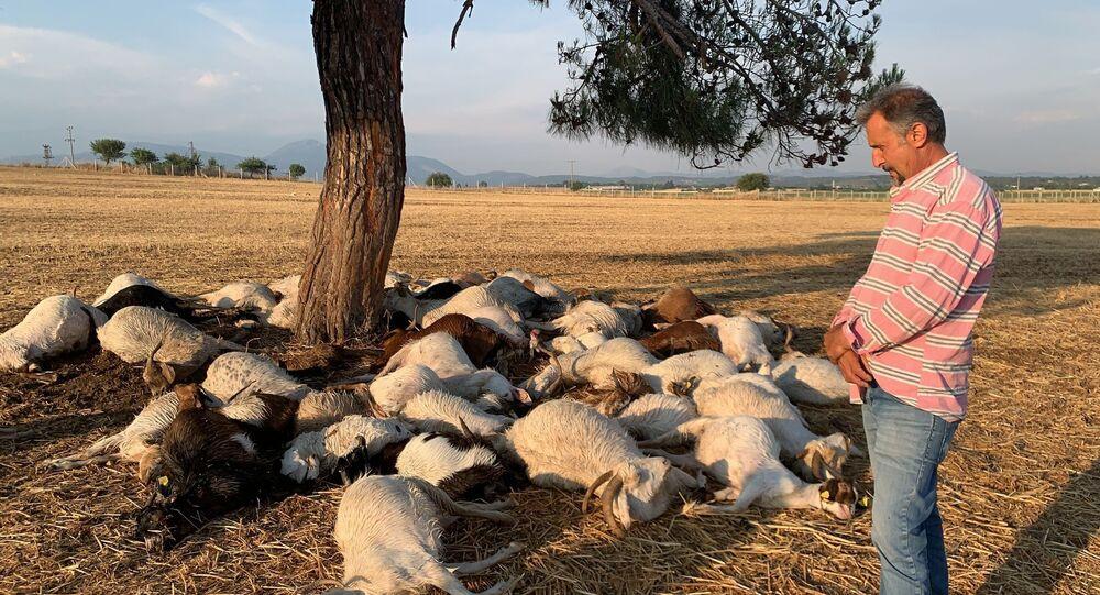 Telef olan koyun sürüsü