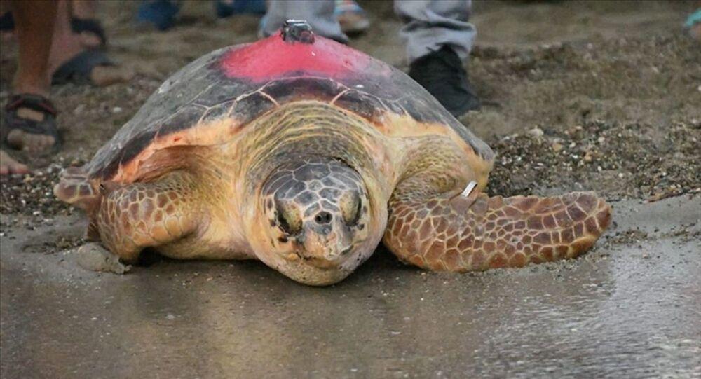 Çevre ve Şehircilik BakanlığıTabiat Varlıklarını Koruma Genel Müdürlüğü'nün Deniz Kaplumbağalarını İzleme Projesi kapsamında Patara, Belek, Göksu ve İztuzu kumsallarından bırakılan 8 kaplumbağadan birisi olan Likya, 296 günlük yolculuk sonunda Tunus kıyılarına ulaştı.