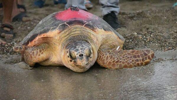 Çevre ve Şehircilik BakanlığıTabiat Varlıklarını Koruma Genel Müdürlüğü'nün Deniz Kaplumbağalarını İzleme Projesi kapsamında Patara, Belek, Göksu ve İztuzu kumsallarından bırakılan 8 kaplumbağadan birisi olan Likya, 296 günlük yolculuk sonunda Tunus kıyılarına ulaştı. - Sputnik Türkiye