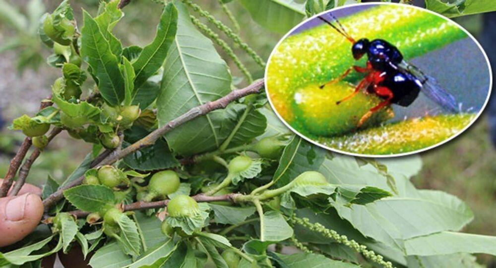 Katil gal arısı
