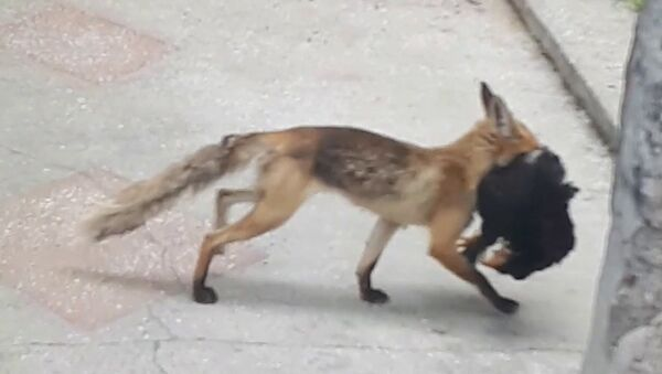 Şehrin ortasında tavuk kaçıran tilkiye takip - Sputnik Türkiye