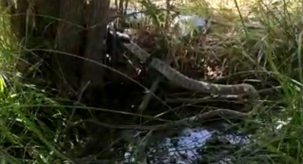 2 metrelik yılan kendi boyundaki yılanı yuttu