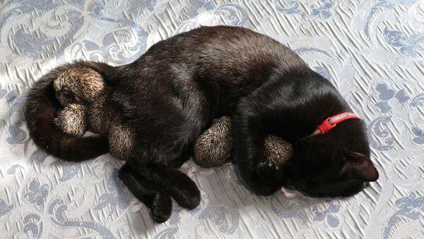 Yavru kirpiler ve kedi Yasha sarılarak uyuyorlar - Sputnik Türkiye