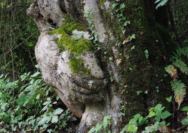 Tesadüfen fark edilen el figürlü ağaç koruma altına alındı