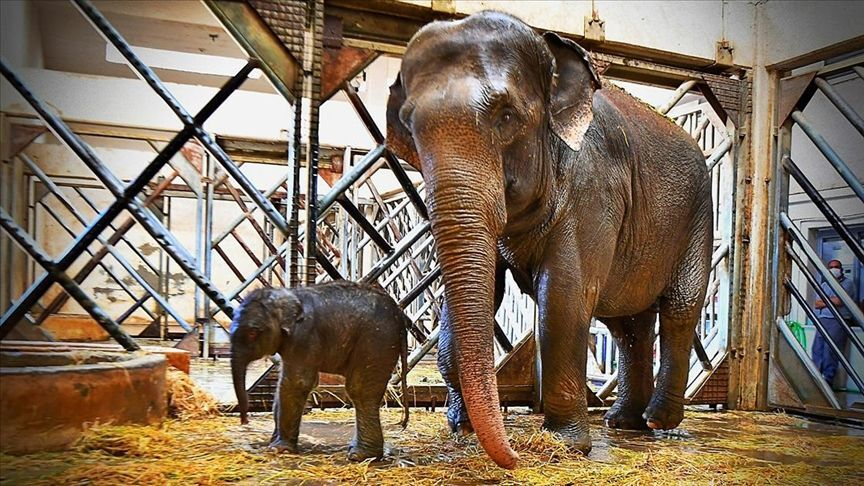 İzmir Doğal Yaşam Parkı'nda yavru fil heyecanı: Begümcan doğum yaptı
