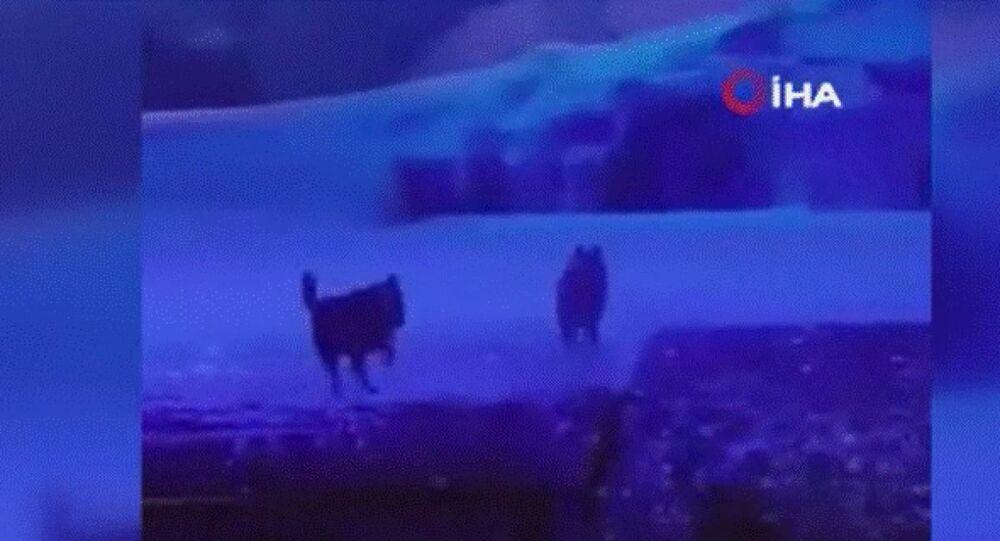 Çin'in Xi'an kentinde bir tiyatro gösterisinde gerçek kurtların kullanılması tepkilere neden oldu.