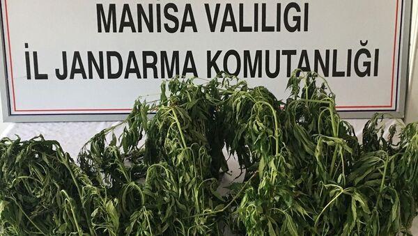 Manisa'da ormana ekilen kenevirler drone ile tespit edildi - Sputnik Türkiye