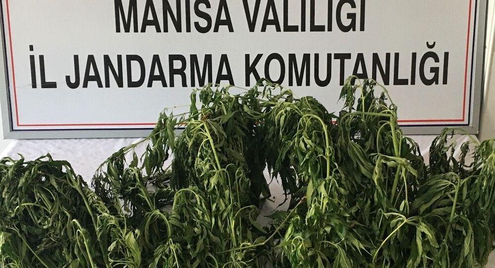 Manisa'da ormana ekilen kenevirler drone ile tespit edildi