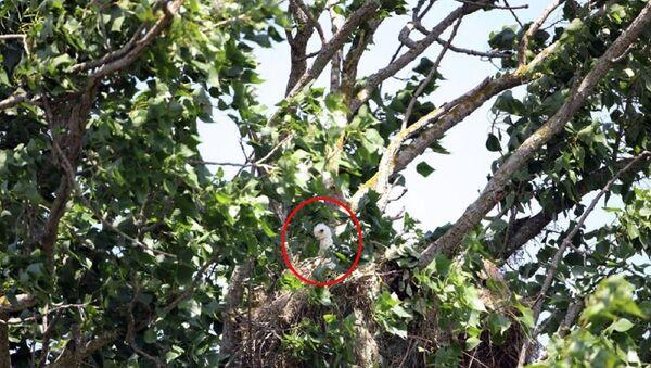 Nesli tehlike altındaki şah kartal yavrusu, yuvadan çalındı - Sputnik Türkiye
