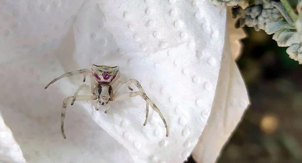 Bursa insan yüzlü örümcek