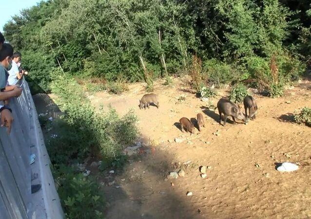 Sarıyer'de domuz