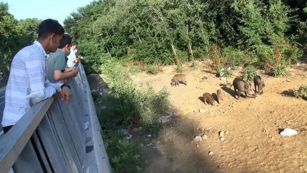Sarıyer'de domuz izleme - Sputnik Türkiye