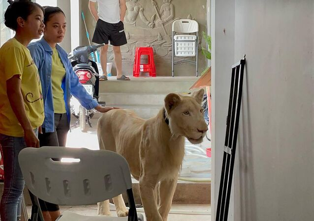 Kamboçya'nın başkenti Phnom Penh'deki lüks bir villada pençeleri çekilmiş halde videoları TikTok'ta yayımlanan aslan