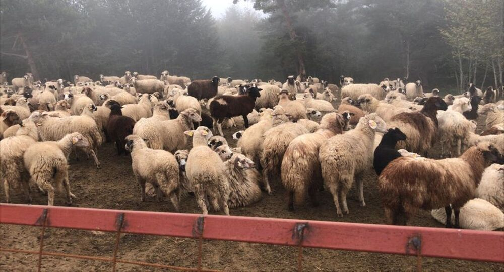 Tokat'ta dolandırıcılıkla kurulan hayvan çiftliği