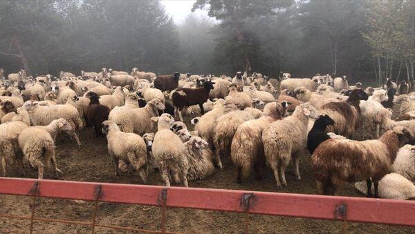 Tokat'ta dolandırıcılıkla kurulan hayvan çiftliği - Sputnik Türkiye