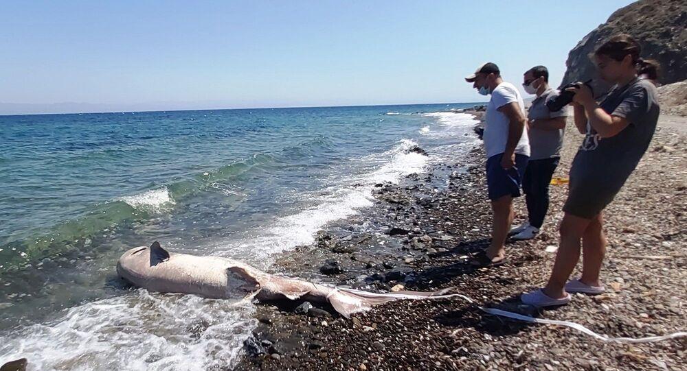 Datça'da ölü köpek balığı sahile vurdu