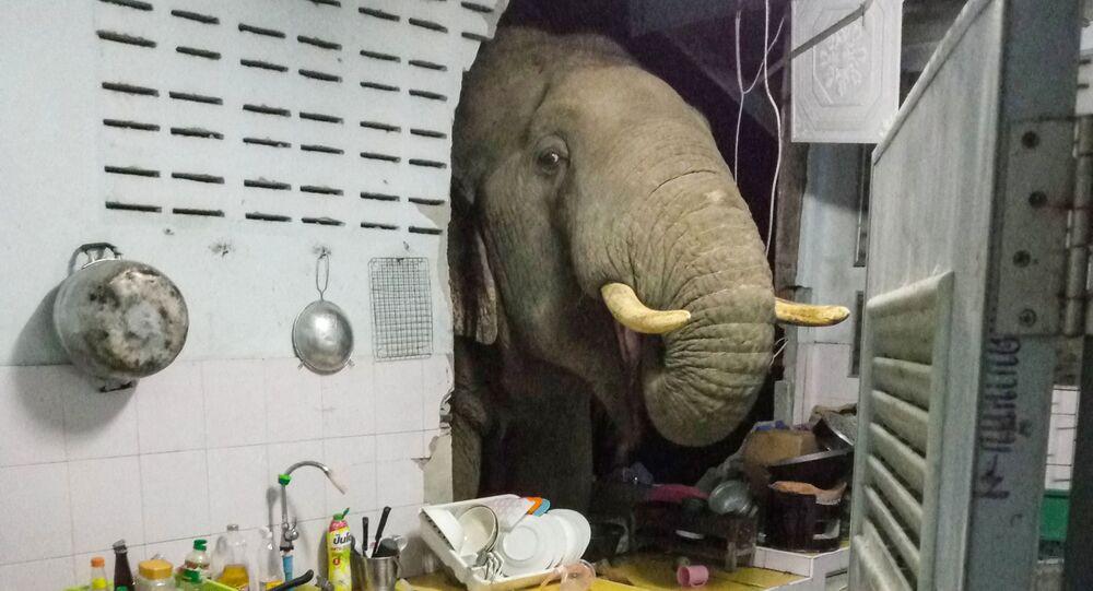 Tayland'da karnı acıkan fil ikinci kez aynı evin mutfak duvarını kırarak  yiyecek aradı - Sputnik Türkiye