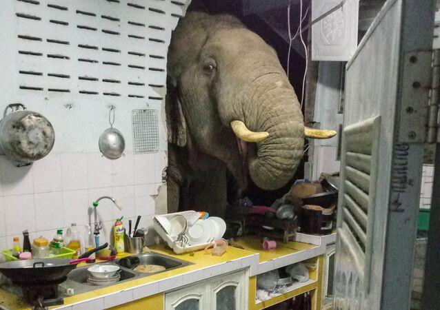Radchadawan Peungprasopporn'un Facebook hesabında paylaştığı evinin mutfak duvarını yıkan Plai Bunchuay isimli 40 yaşındaki erkek fil