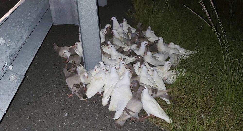 Güvercin- Florida