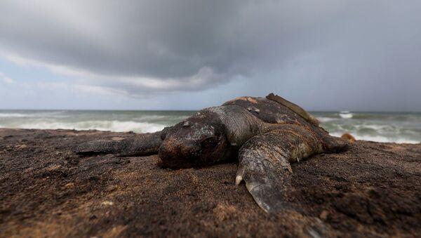 Sri Lanka - gemi faciası - kaplumbağa cesedi - Sputnik Türkiye