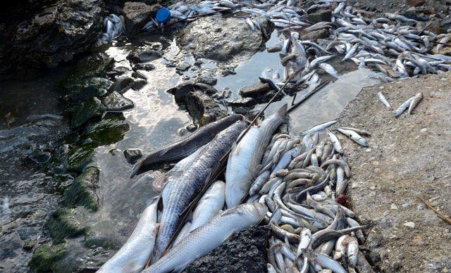 Küçükçekmece Gölü'nde ölü balıklar sahile vurdu