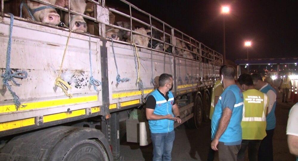 Kurban Bayramı'nın yaklaşmasıyla kurbanlıklar İstanbul'a getirilmeye başlandı. Kentteki denetim noktalarında araçlar durdurularak hayvanların kulak küpeleri ve pasaportları kontrol ediliyor. Kaçan girmeye çalışan 60 tır ise tespit edilerek yakalandı.