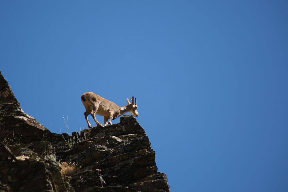 Dünya Doğa Koruma Birliğinin (IUCN) yayınladığı Nesli Tükenme Tehlikesi Altında Olan Türlerin Kırmızı Listesi'nde bulunan çengel boynuzlu dağ keçisi, daha çok sarp kayalıklarla dağların zirvelerinde yaşıyor.
