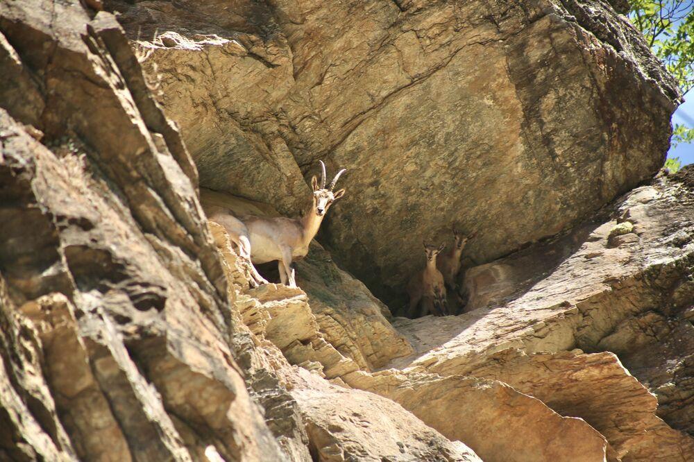 Yöre halkı tarafından dağ keçilerinin 'Hızır'ın davarları' olduğuna inanılır.