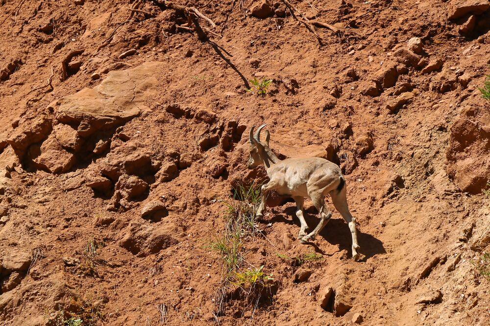 Koruma altında olan çengel boynuzlu dağ keçilerinin avlanması yasak.