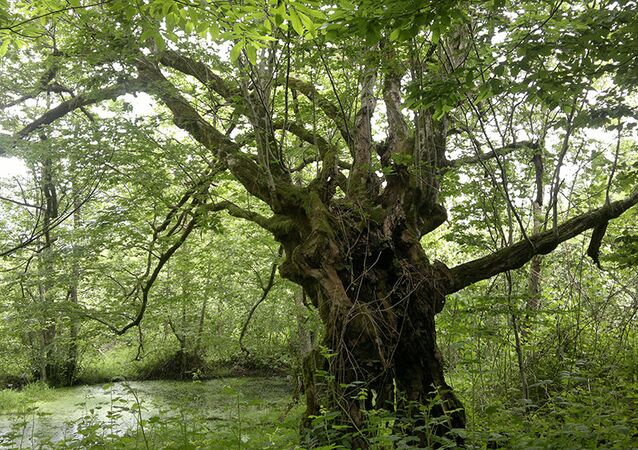Türkiye anıt ağaçlar