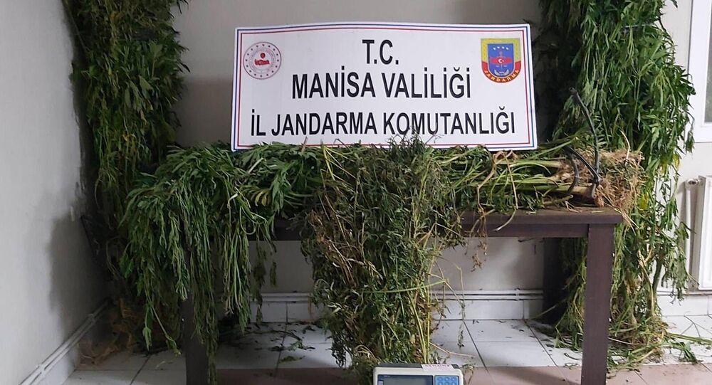 Manisa'da kenevir operasyonu: 313 kök kenevir ele geçirildiv