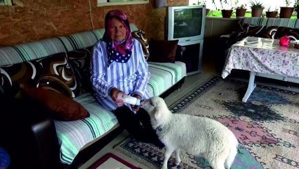 Torununa hayvan sevgisini aşılamak için aldığı kuzu peşinden ayrılmıyor - Sputnik Türkiye